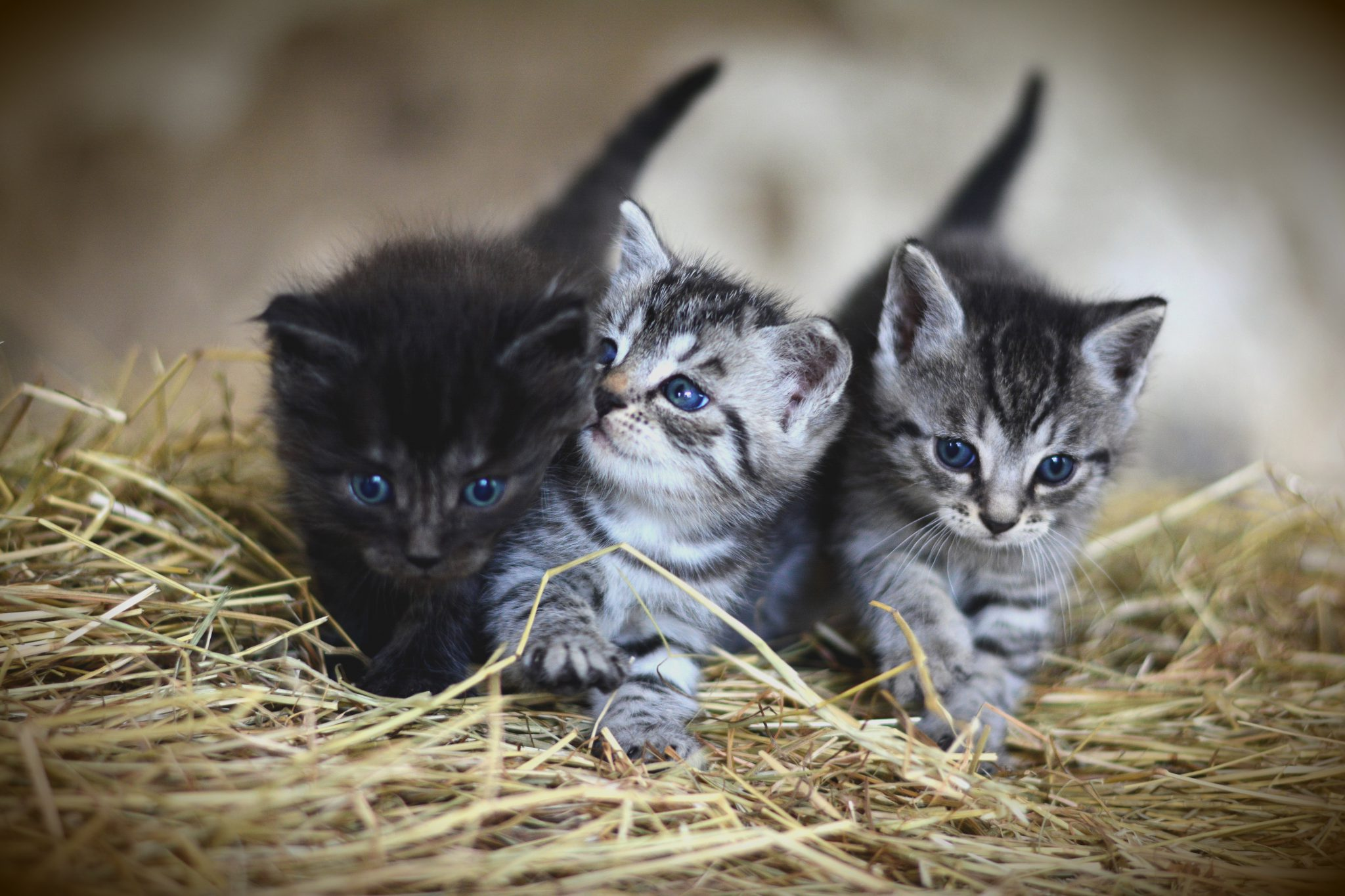 Trois chatons